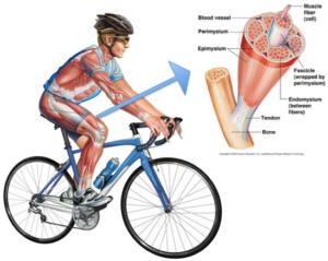 Detalle del músculo de un ciclista