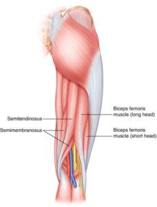 Anatomía de los isquiotibiales